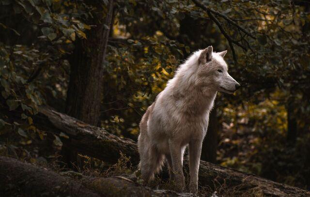 serigala di hutan belantara
