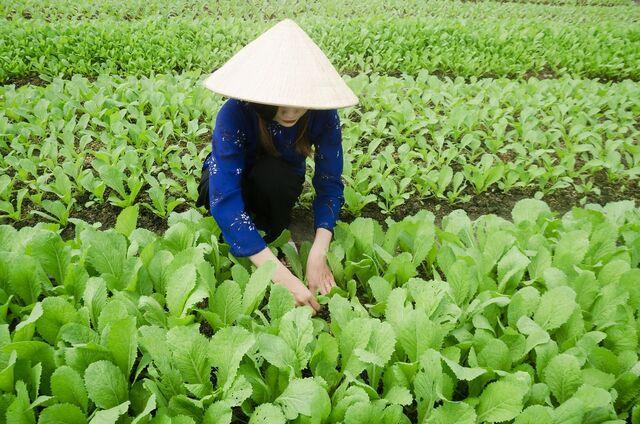 perempuan memetik sawi di ladang