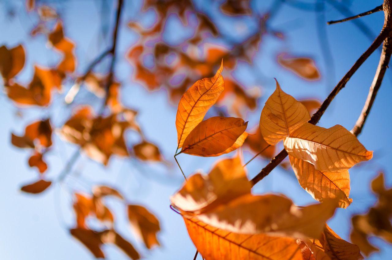 daun kuning