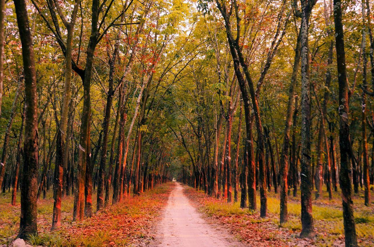 jalan di antara pohon karet