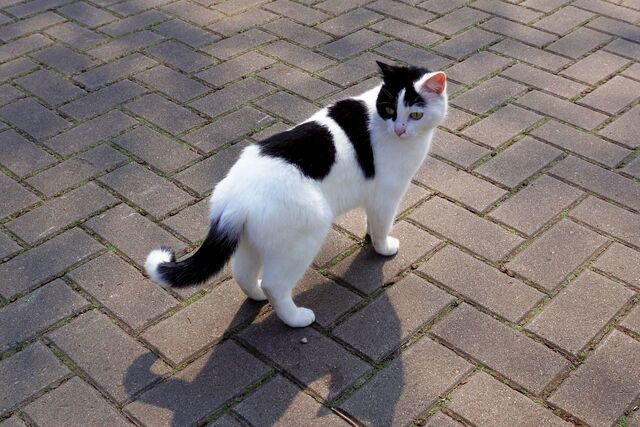 kucing putih hitam